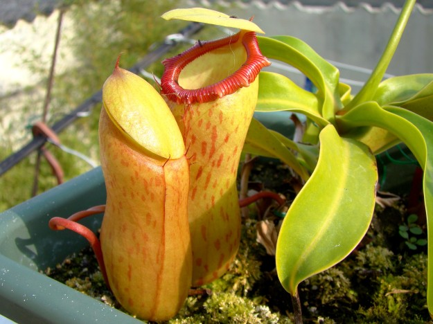 nepenthes ventricosa (5)
