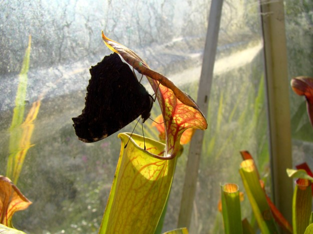papillon sur Sarracenia octobre 2014 (5)