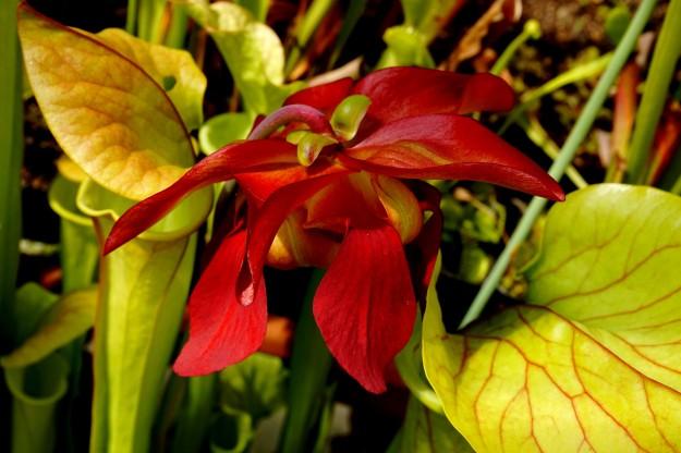 fleur hybride perso base leuco mai 2016