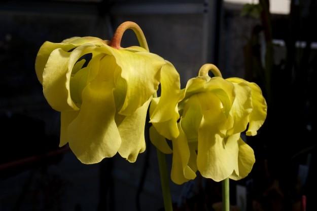 hp2010e x moorei OP avril 2017 fleur jaune ! (3)