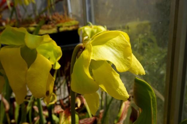 laurissia fleur 2016