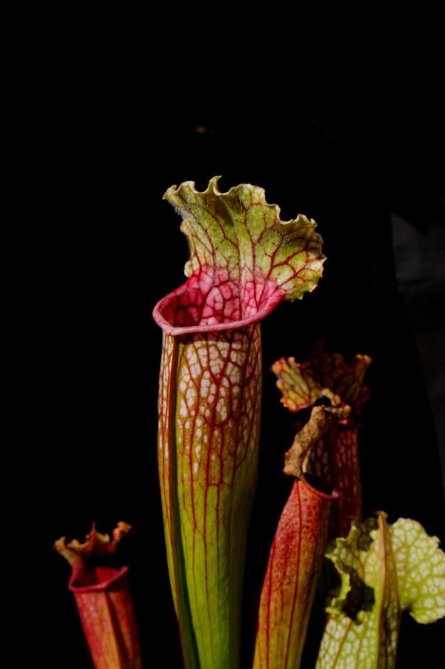 sarracenia angine septembre 2018