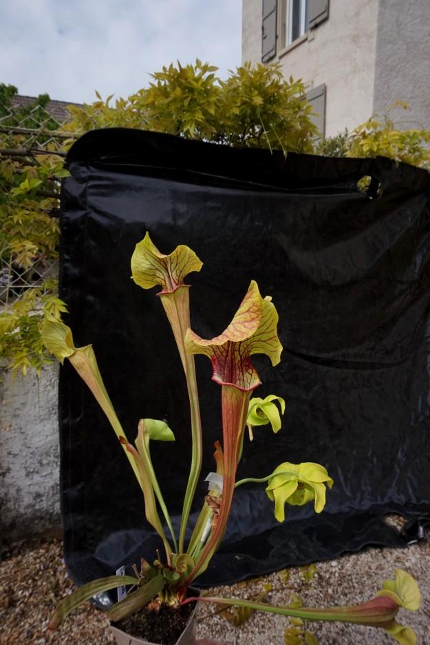 Sarracenia dantadelle début mai 2017 fond noir (1)