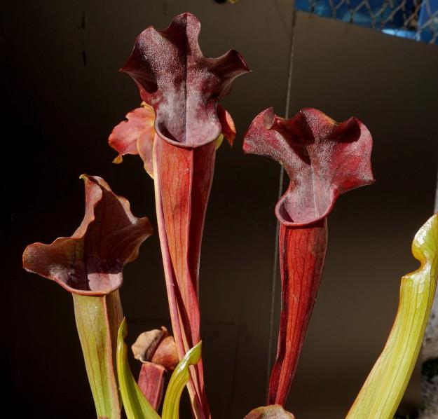sarracenia rubis rare aout 2017 (1)