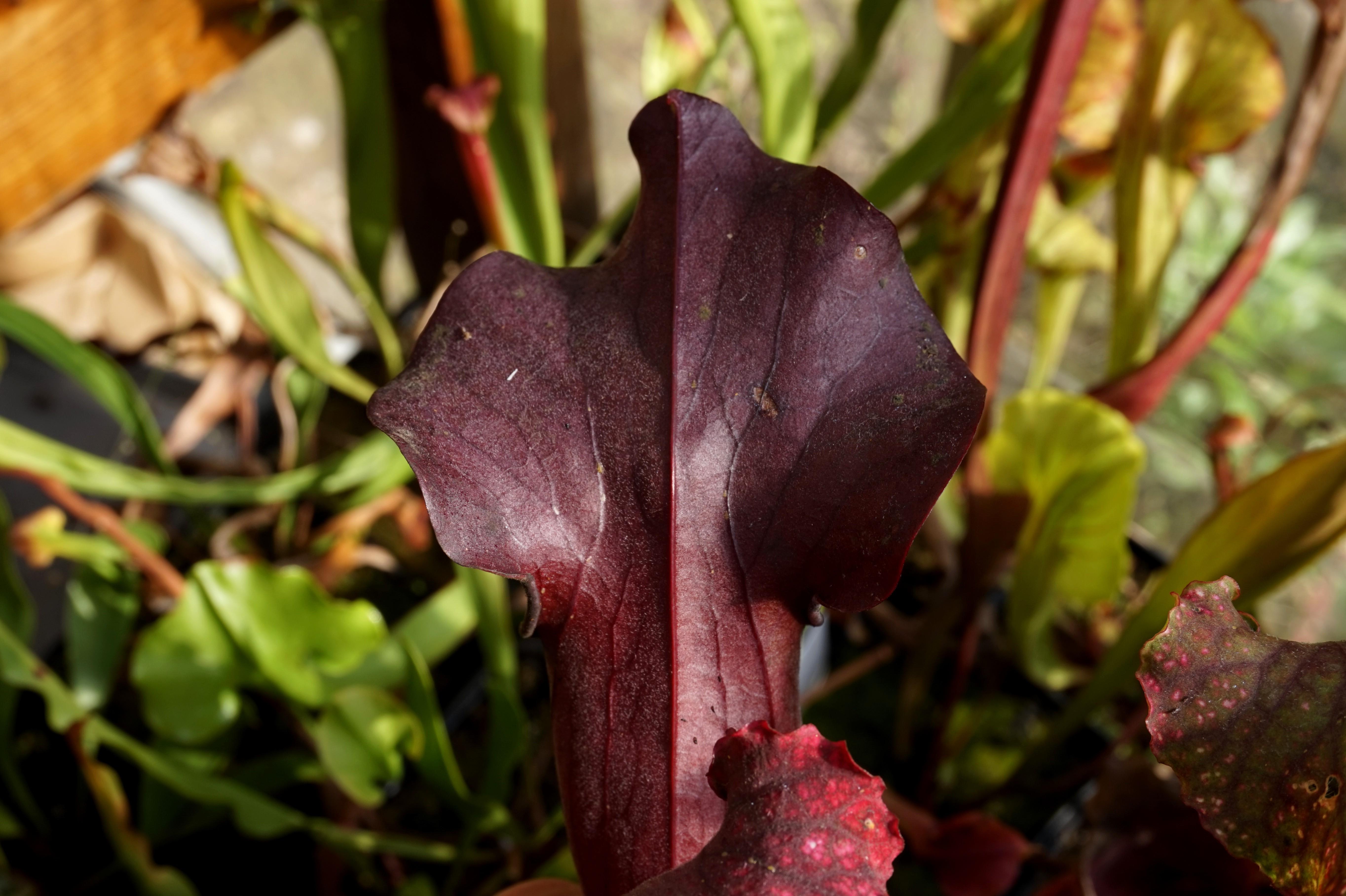 sarracenia rubis rare aout 2017 (2)