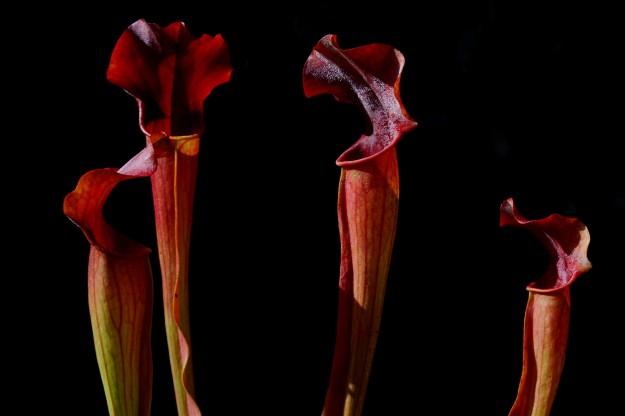 sarracenia rubis rare juin 2016 (1)