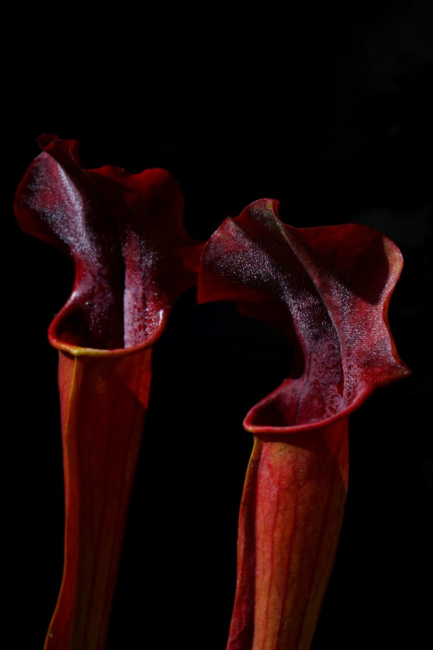 sarracenia rubis rare juin 2016 (2)