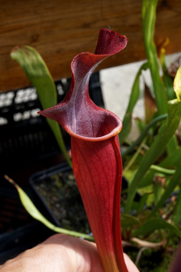 Sarracenia rubis rare juin 2017 (2)